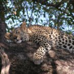 Leopard sightings at game parks nearby